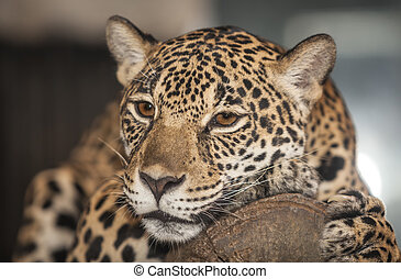 Portrait of leopard on night time