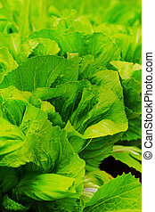 chinese cabbage - chinese cabbage