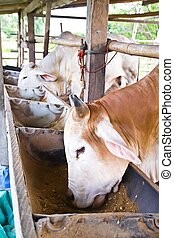 cow eat food in farm