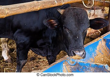black cow eat food in farm
