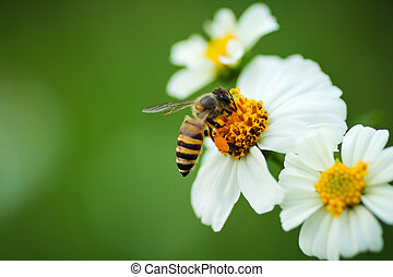 flower blossom and bee - Honey bee on flower blossom in the...
