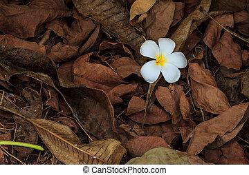 Plumeria flower - Beautiful white flower in thailand,...