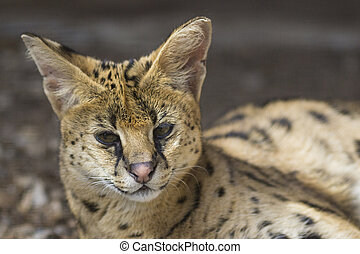 serval, The African cat