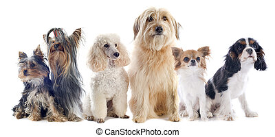 six little dogs in front of a white background