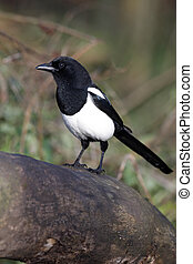 Magpie, Pica pica, on a log in woodland, Warwickshire,...