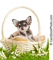 lChihuahua puppies. ovely puppy s. portrait of puppies in a...