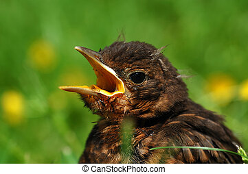 Close up of young Common Blackbird - Close up ofyoung Common...