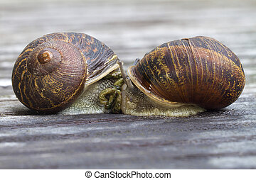 2 brown snails together