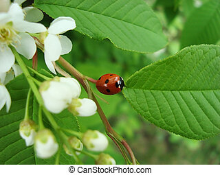 ladybug on twig - small red ladybug with black spots, on a...
