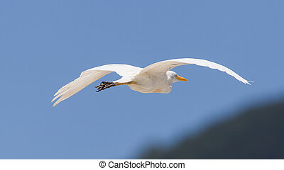 Great Egret Ardea alba modesta, American subspecies, flying...