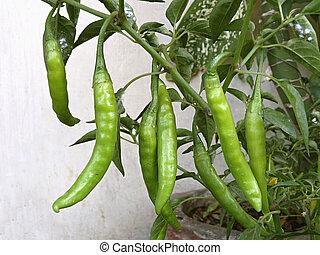 Common Chili, Capsicum annuum plant