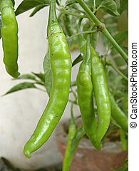 Common Chili, Capsicum annuum plant