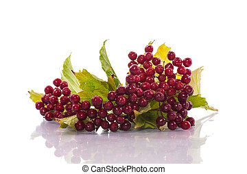 ripe red viburnum on a white background