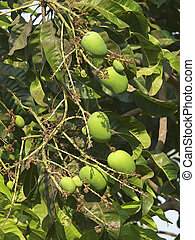 Alphonso mangoes are hanging on a tree. Mangifera indica L....