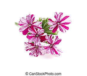 Flower pink verbena,isoleted on white background
