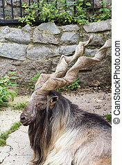 Markhor in Moscow zoo in summer