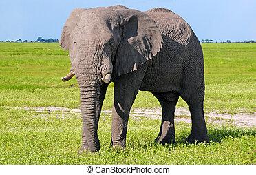 wild, savanne, afrikanisch, elefant