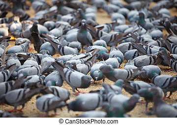 Fed pigeons at the square. Jaipur, India - Fed pigeons at...