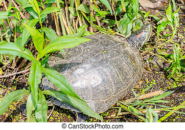 Red-eared Turtle in Central Park, New York