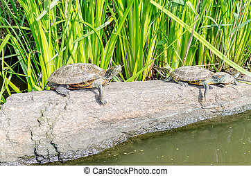 Turtles on the rocks, Central Park, New York