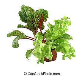 Red Shard And Curly Lettuce - Fresh potted red chard and...