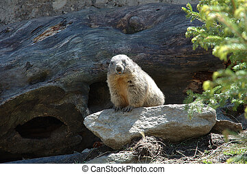 Marmot somewhere in Alps in Switzerland
