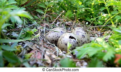 hatching of baby birds of Bleck-headed gull