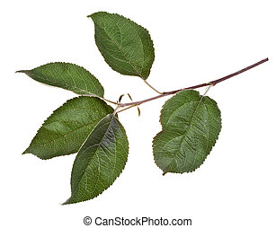 apple tree branch with green leaves - apple tree twig with...