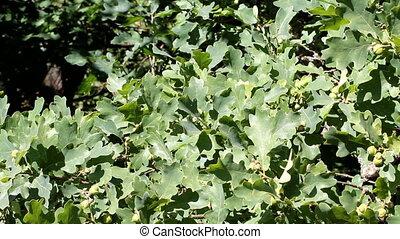 oak tree - oak in the summer sunny day