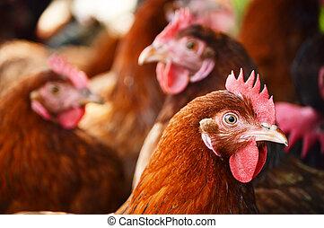 poulets, traditionnel, gratuite, gamme, volaille, ferme