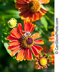 honey bee sips nectar from gaillardia flower - above view of...