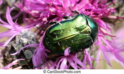 Chafer beetle on a flower - Chafer beetle on a cornflower...
