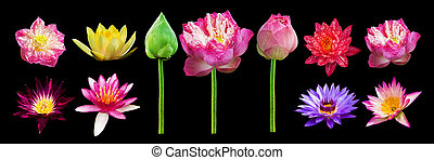 lotus - Isolate many lotus flowers with small colorful...