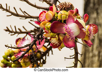 The flower of the Couroupita Guianensis cannonball tree