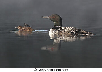 Common Loon Swimming with Young Chick - Common Loon (Gavia...