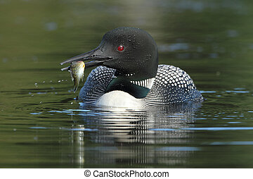 Common Loon (Gavia immer) with a Fish in its Beak - Common...