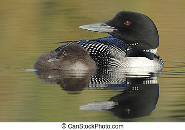 Common Loon (Gavia immer) Parent and Chick with beautiful...