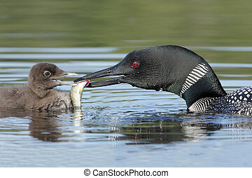 Common Loon Gavia immer Feeding a Fish to its Baby - Common...