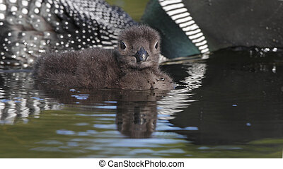 Baby Common Loon (Gavia immer) - Ontario, Canada - Baby...