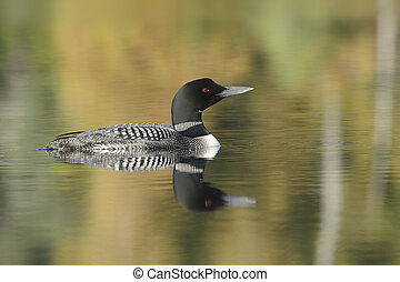 Common Loon on a Lake in Autumn - Haliburton, Ontario -...