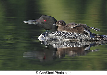Common Loon Gavia immer with Chick Riding on Parents Back -...