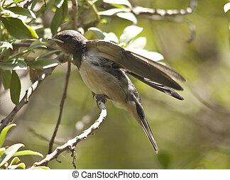 Sand Martin quinquies - Sand Martin (Riparia riparia) is a...