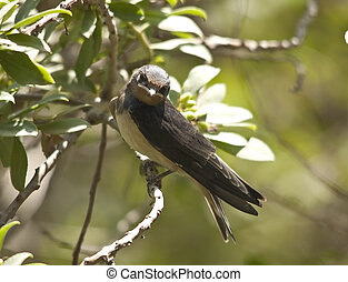 Sand Martin septies - Sand Martin (Riparia riparia) is a...