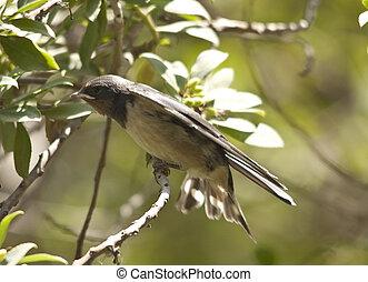 Sand Martin sexies - Sand Martin (Riparia riparia) is a...
