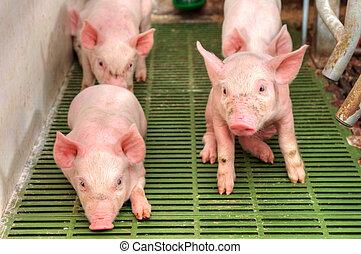 bebé, cerdo, pocilga