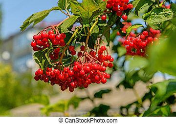 Arrowwood - Berries of a arrowwood hang on a branch against...