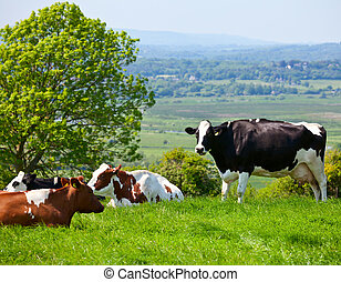 Friesian cattle - Holstein cows grazing at pasture in...