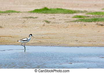 Pied avocet walking in water