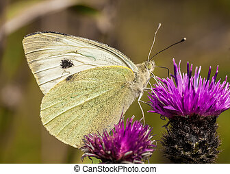 Large White / pieris brassicae - Large White Butterfly /...