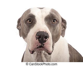 amerikaan, witte,  Terrier,  staffordshire, achtergrond